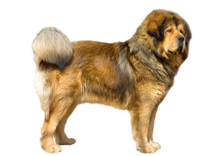Tibetan Mastiff in front of white background