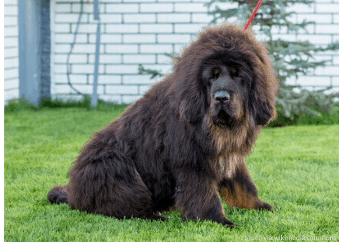 Tibetan Mastiff with red leash on the lawn