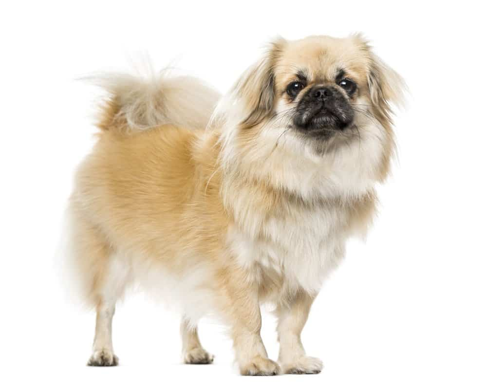 Tibetan Spaniel photographed against a white background