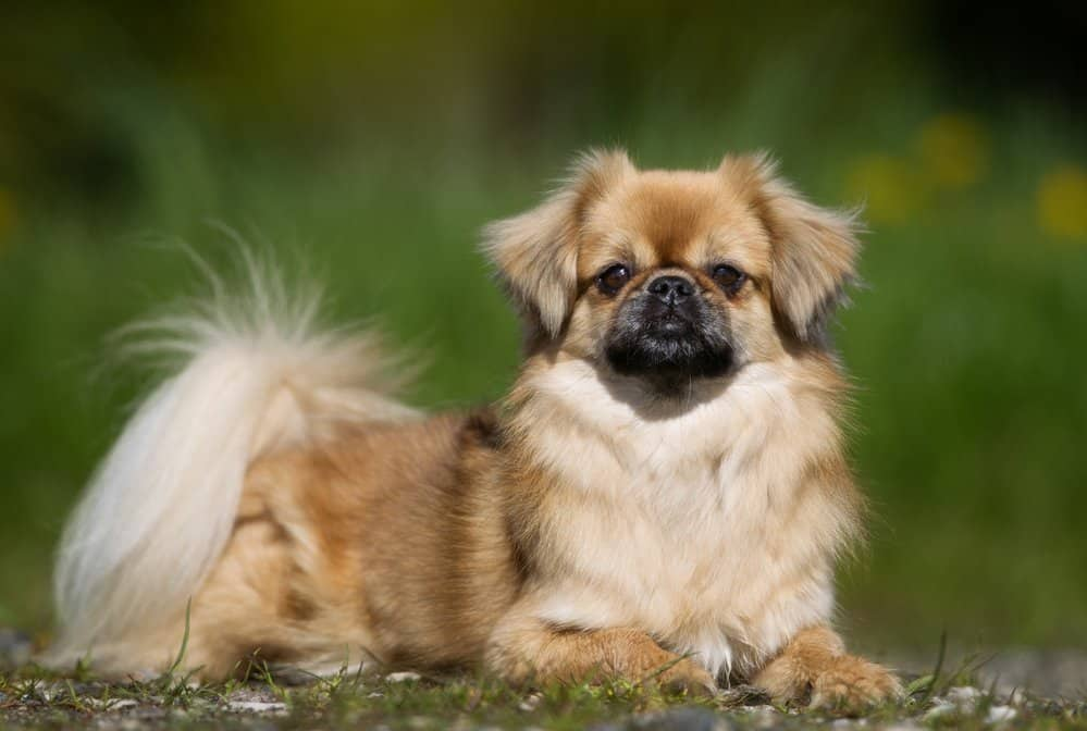 Tibetan Spaniel dog sitting on grass