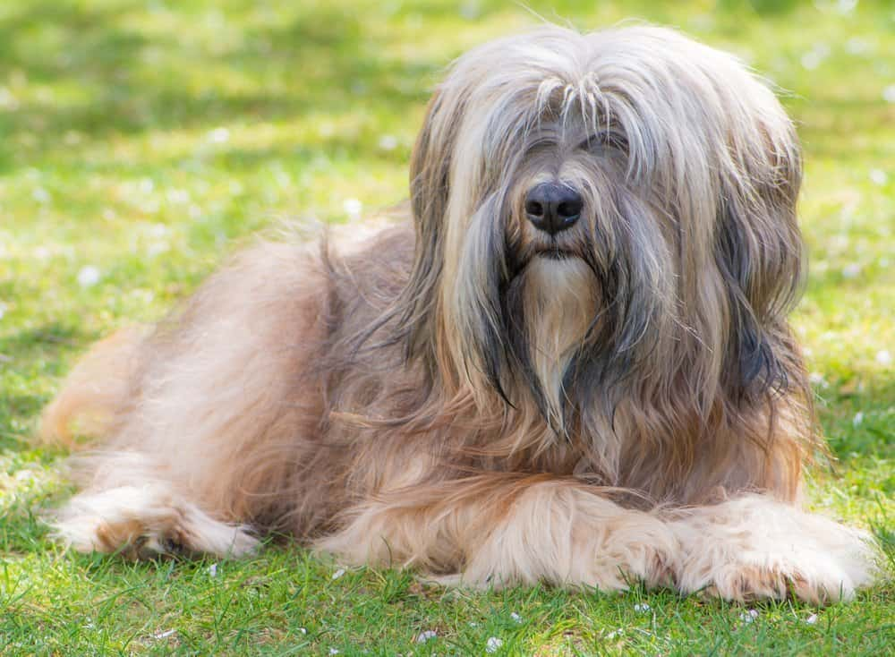Tibetan Terrier sitting on the lawn