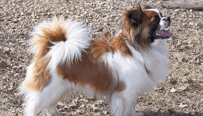 Tibetan spaniel named Buddy