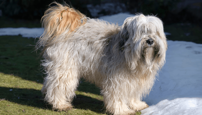 Tibetan terrier in winter