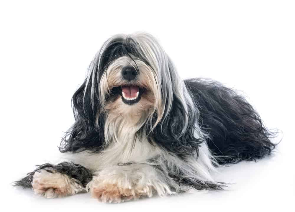 Tibetan terrier photographed against a white background
