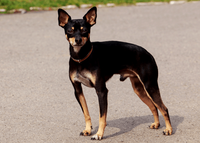 Toy Manchester Terrier standing on the ground