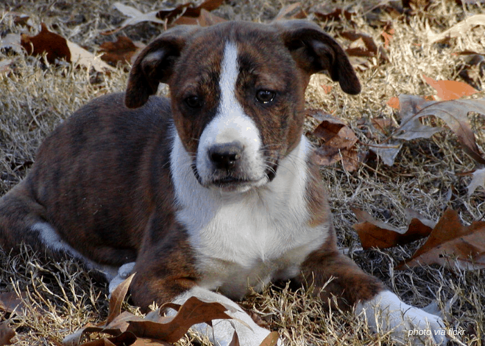 Treeing Cur resting under the tree