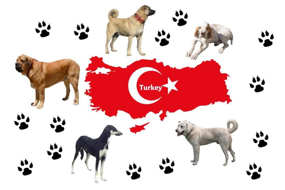 5 Turkish Dog Breeds image