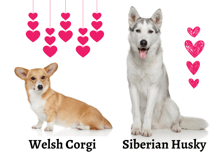 Welsh Corgi and Siberian Husky and hearts on white background