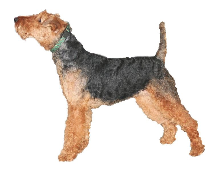 Welsh Terrier side view on white background