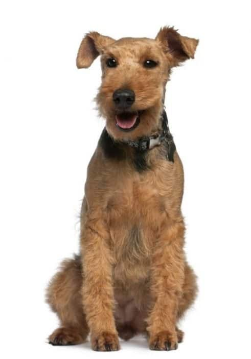 Welsh Terrier, sitting in front of white background