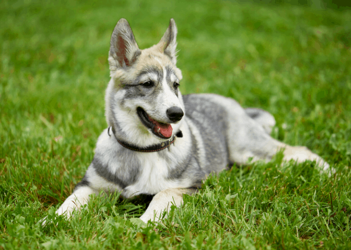 West Siberian Laika puppy resting on the green grass