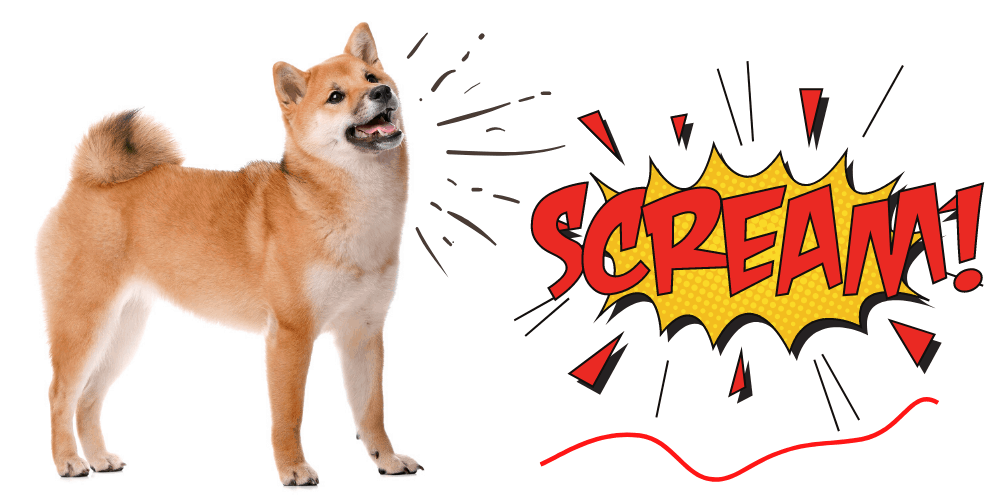 What is a Shiba Inu Scream featured image