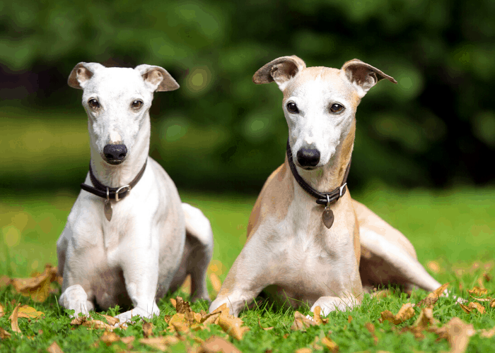 2 Whippet dogs lying on the lawn
