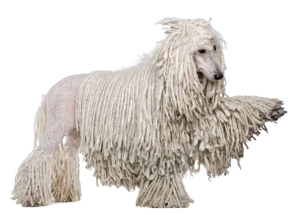 White Corded standard Poodle photographed against a white background