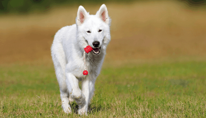 White Swiss Shepherd Dog playing at the park