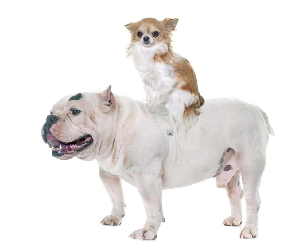 White american bully and chihuahua riding on its back