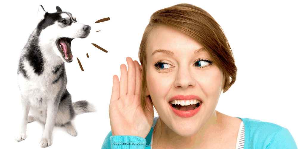 Why Do Huskies Talk featured image