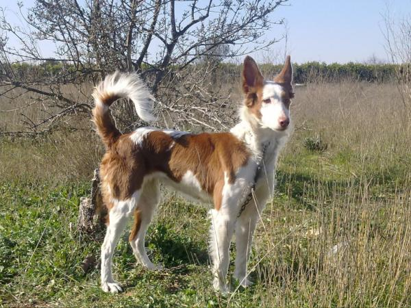 47 Spanish Dog Breeds [The Complete List With Photos] 1