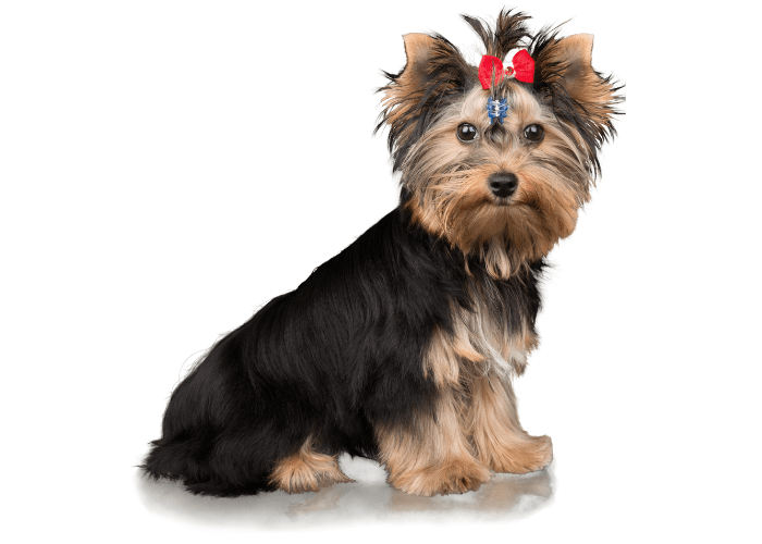 Yorkshire Terrier sitting on white background