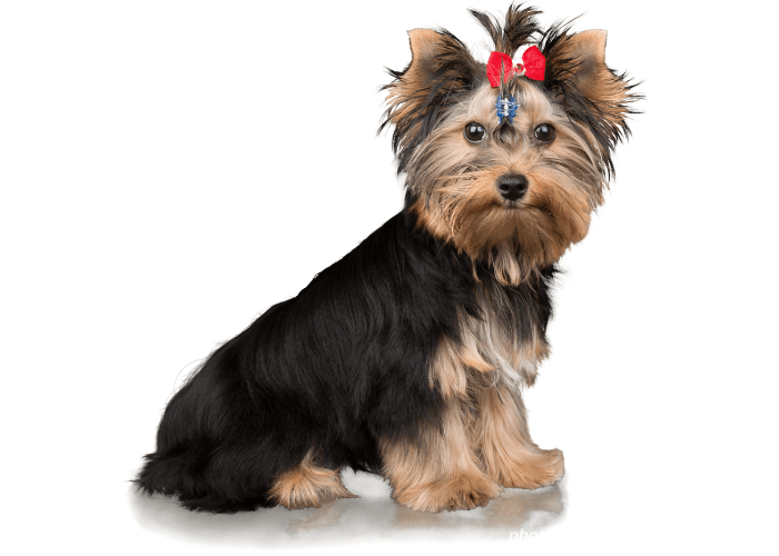 Yorkshire Terrier image on white background