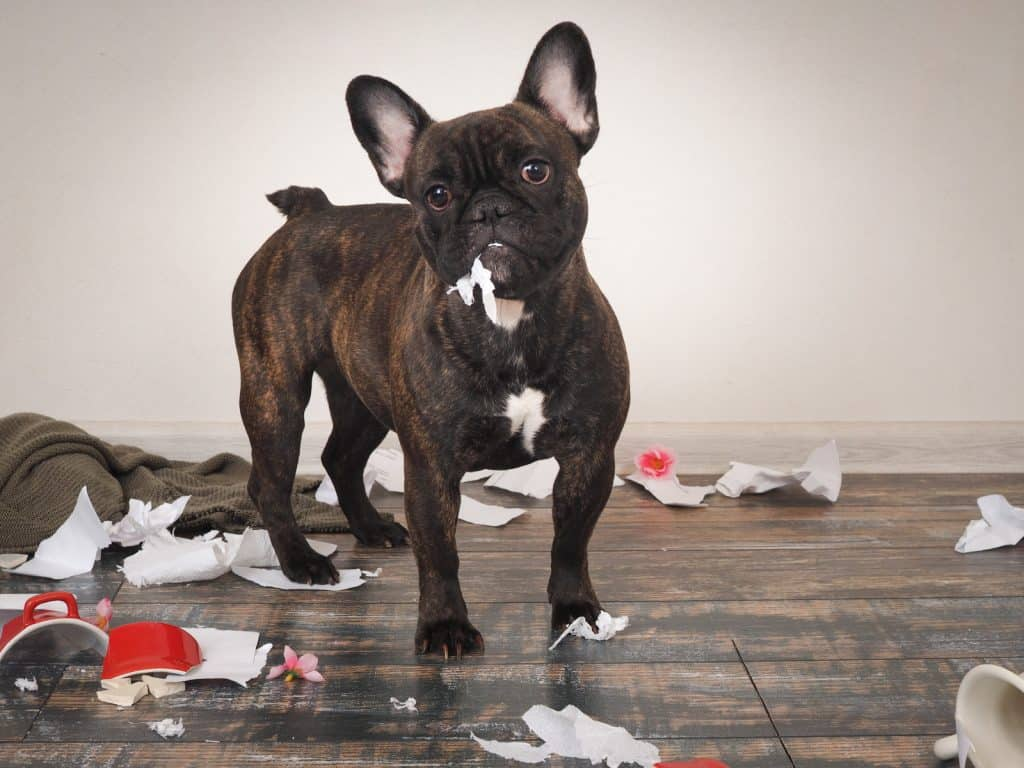 a french bulldog made a mess at home