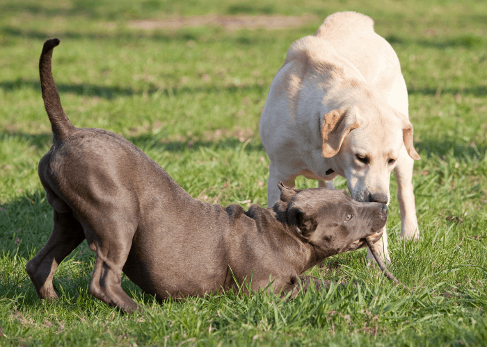 a pit bull and labrador playing at the farm