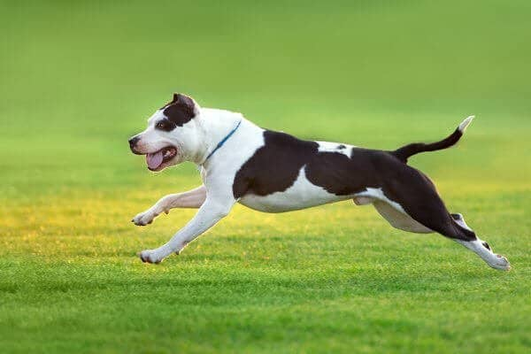 a pit bull running on a green and yellow background