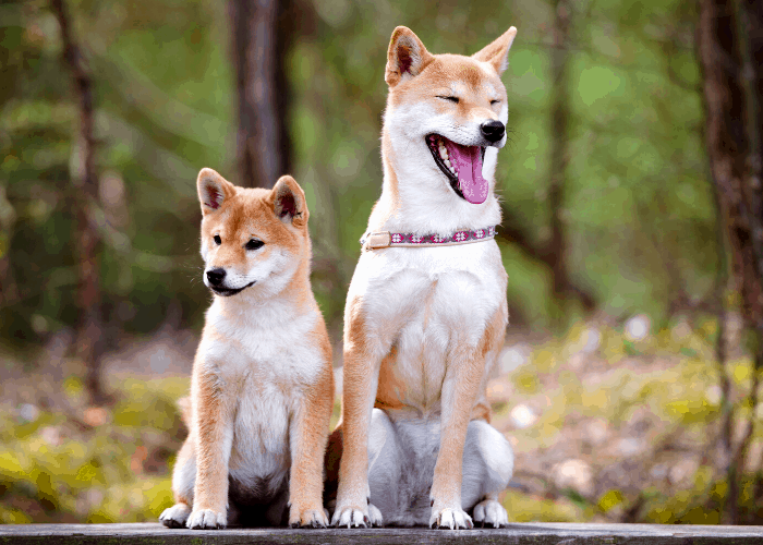 33 Shiba Inu Pros and Cons 1