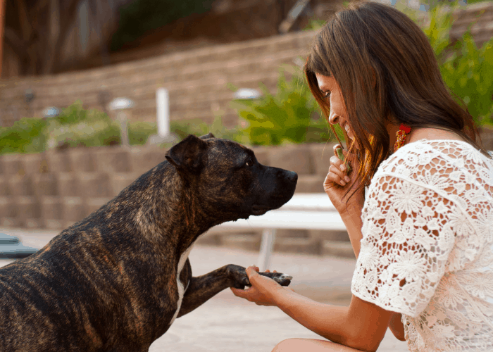 affectionate pit bull pawing lady owner