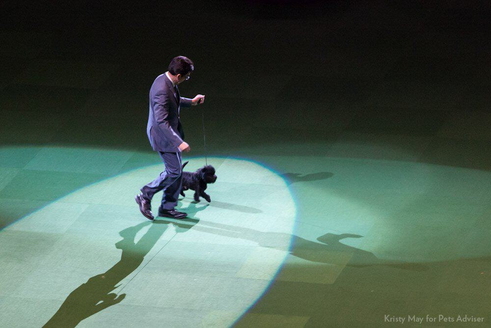 affenpinscher Joey in a dog show