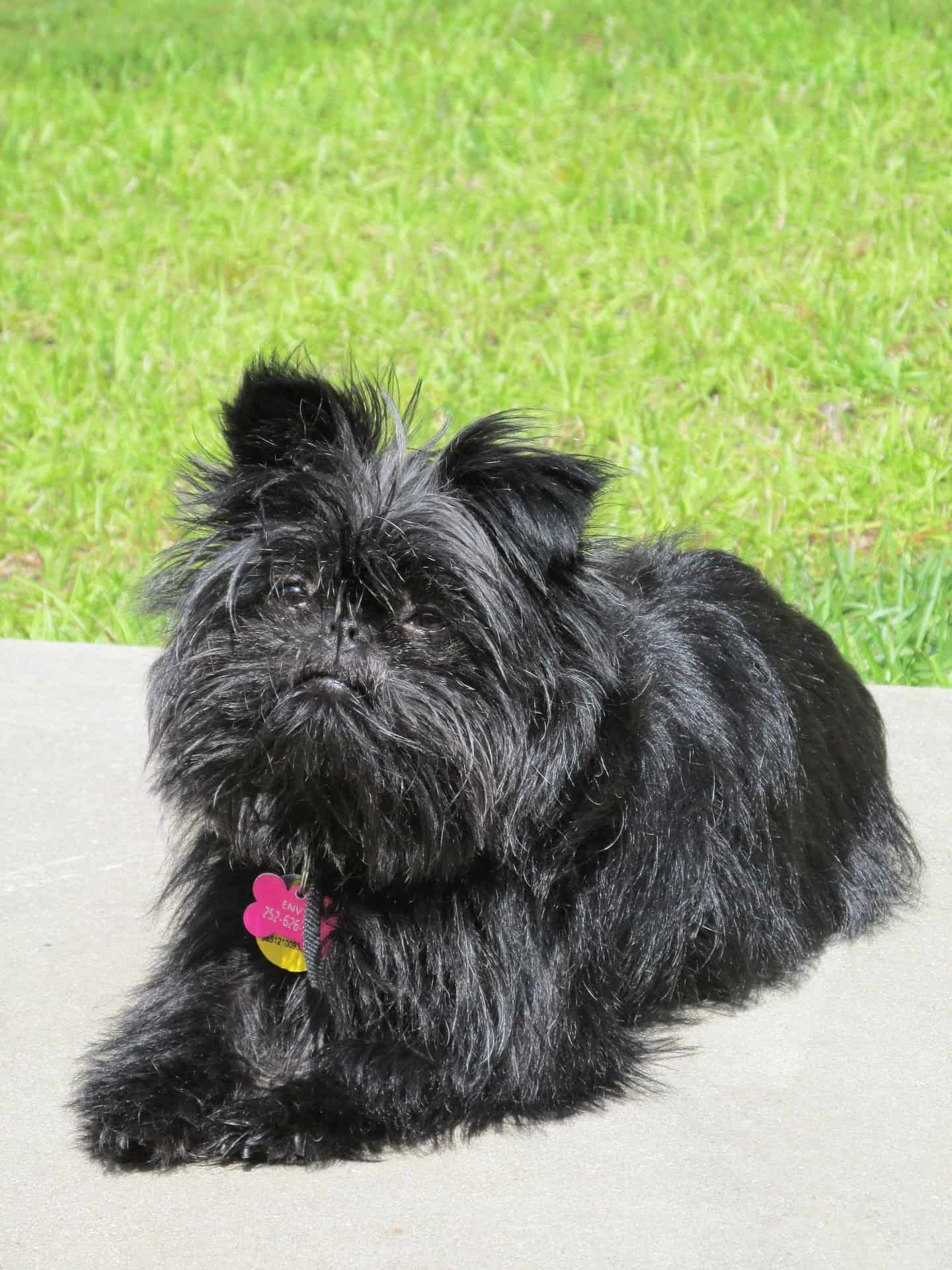 affenpinscher sitting on cemented road
