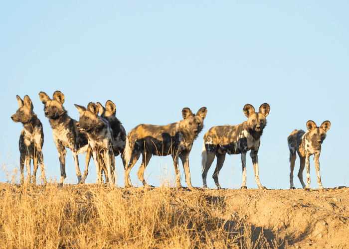 7 african wild dogs