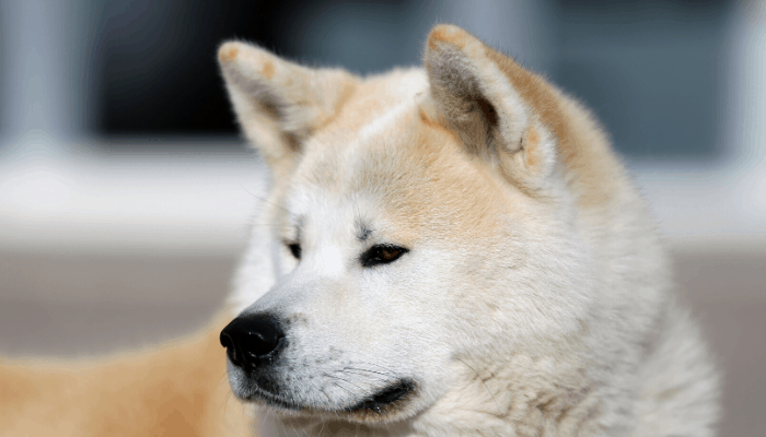 akita inu close up photo