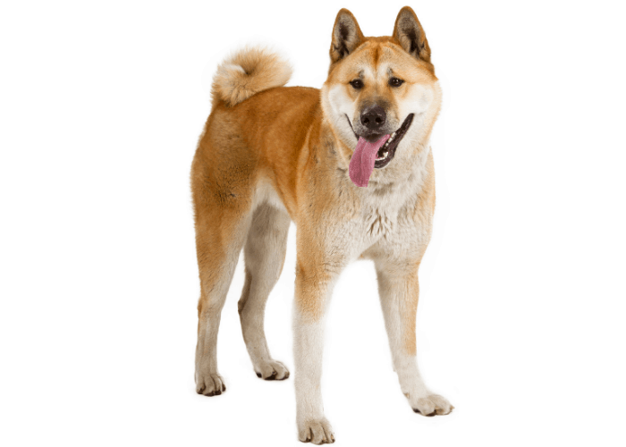 akita inu with tongue out on white background