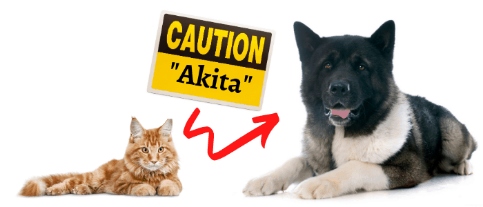american akita and cat with caution akita on white background