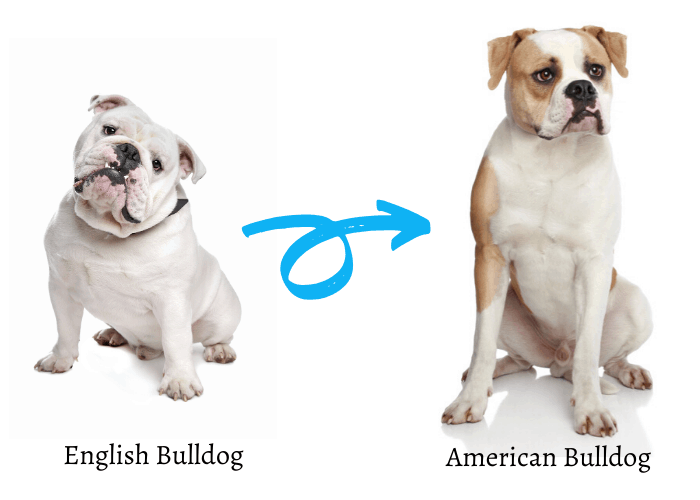 american bulldog and english bulldog on white background