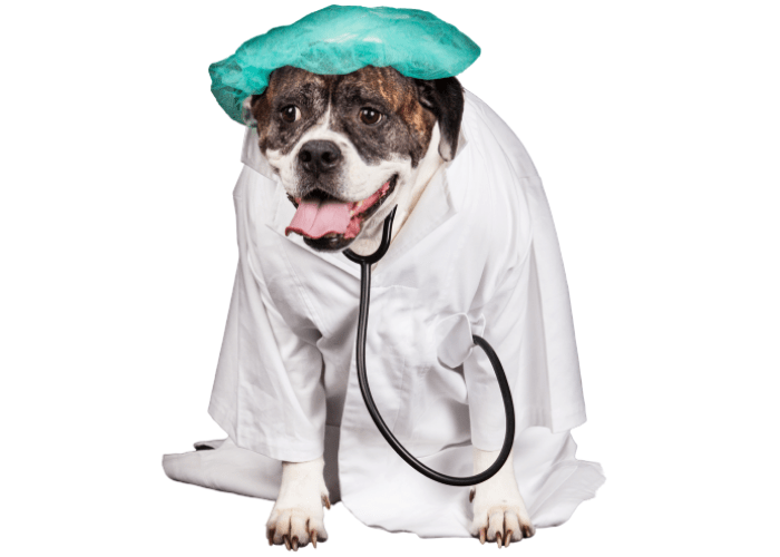 american bulldog dressed in a doctor's coat