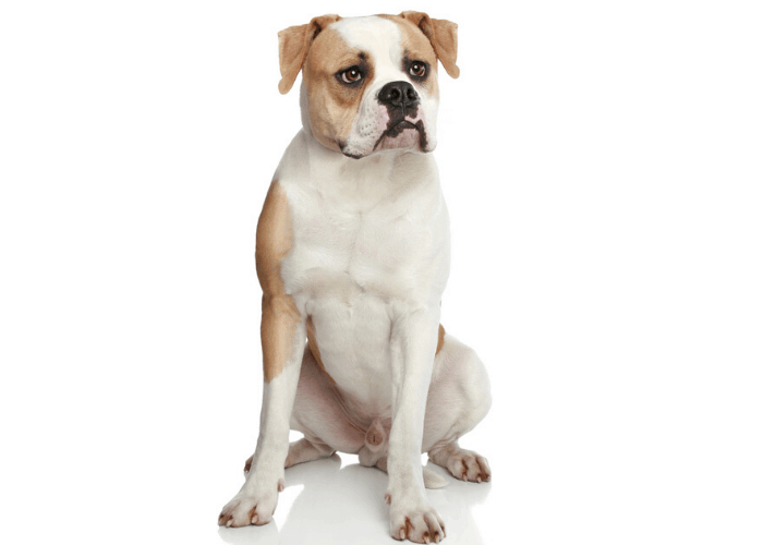 american bulldog photographed against a white background
