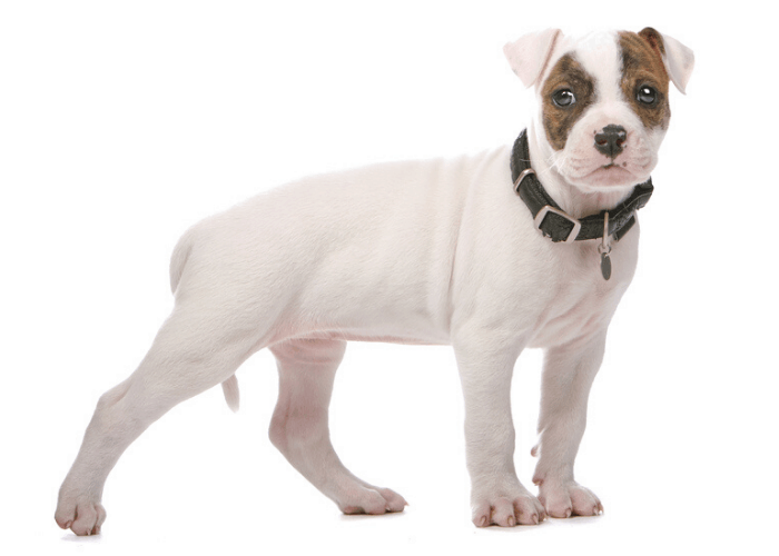 american bulldog puppy photographed against a white background