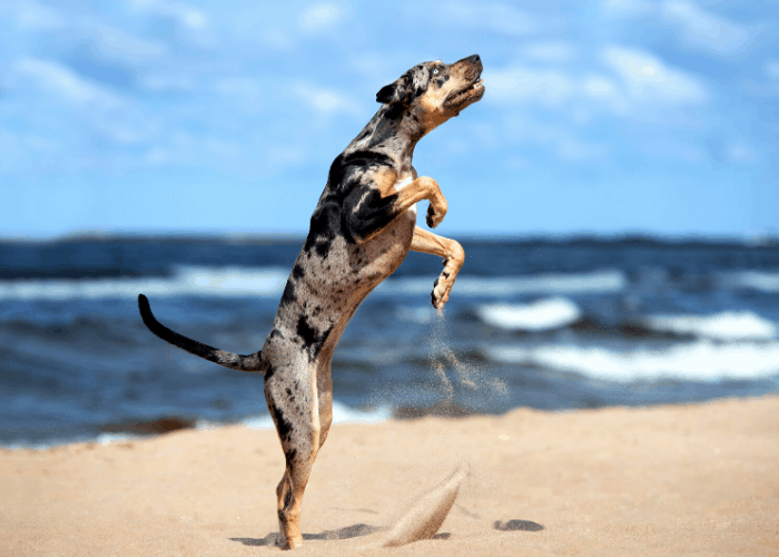 american leopard hound dog at the beach