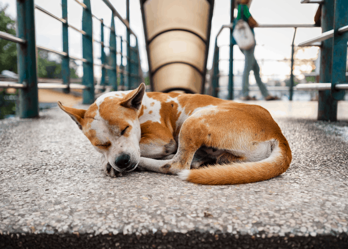 an aspin dog sleeping on a bridge in the Philippines