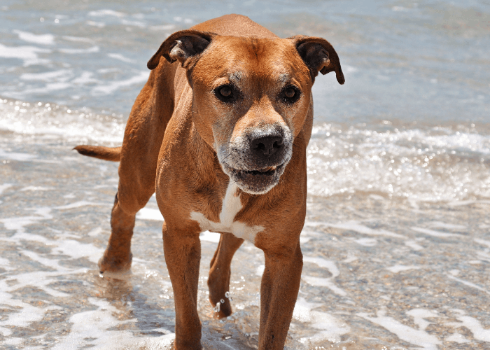 angry pit bull terrier on the beach
