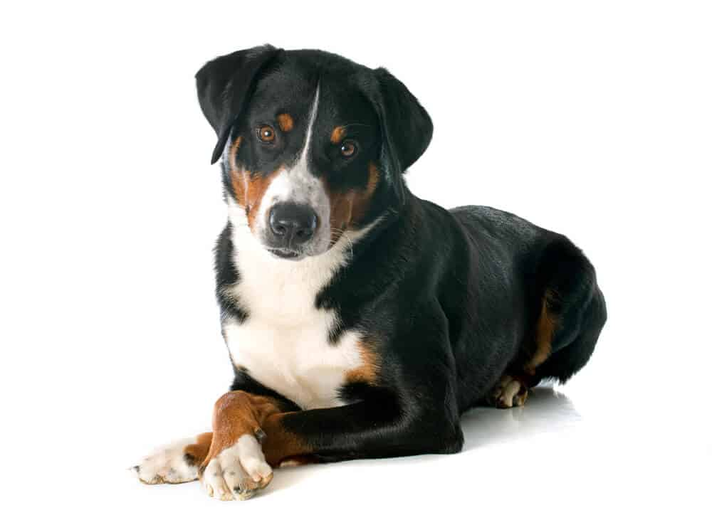 appenzeller sennenhund on white background
