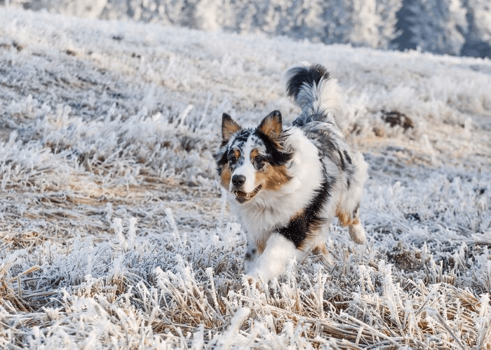 blue merle australian shepherd puppy in winter