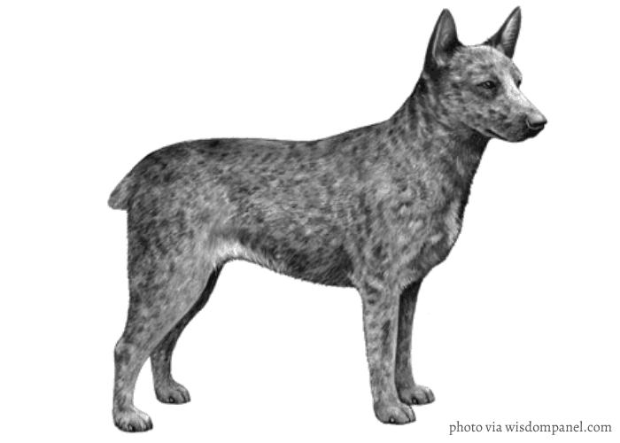 australian stumpy tail cattle dog standing in front of white background
