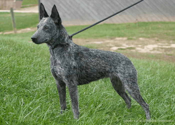 australian stumpy tail cattle dog on leash standing in the lawn