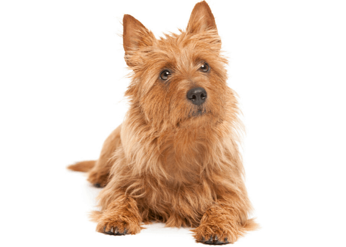australian terrier photographed in front of white background