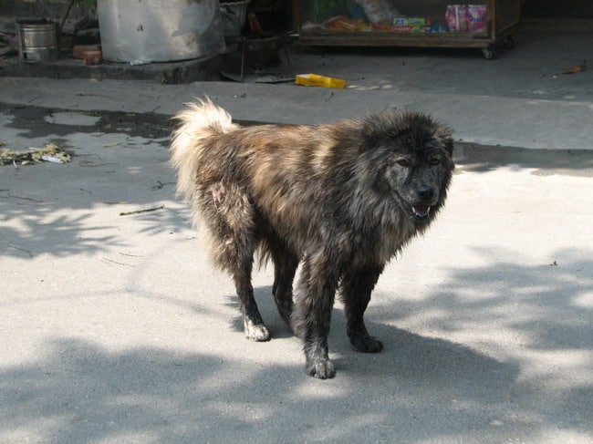 Bac Ha Dog