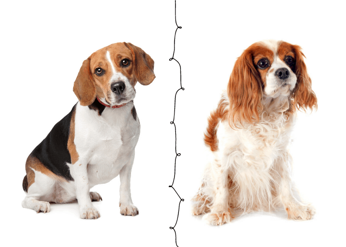 beagle and cavalier king charles spaniel on white background