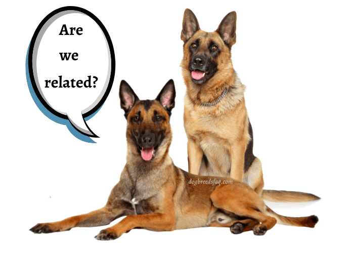 belgian malinois asking german shepherd if they are related